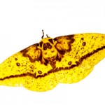 Imperial moth (Eacles imperialis, female).