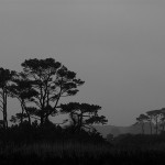 Chincoteague Pines