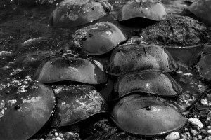 HorseshoeCrabs_D8E0491