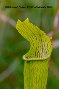 Yellow Trumpet Pitcher Plant, Mississippi Sandhill Crane Wildlife Refuge. 10 image stack