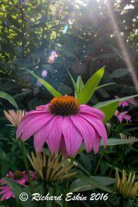 Echinacea_D8E_3046
