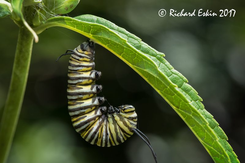 Monarch ready to pupate.