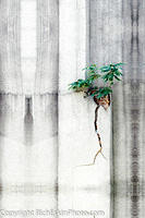 Tree of Heaven in Wall Crack